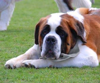 Cani taglia grande