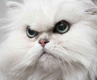 Gatti pelo lungo